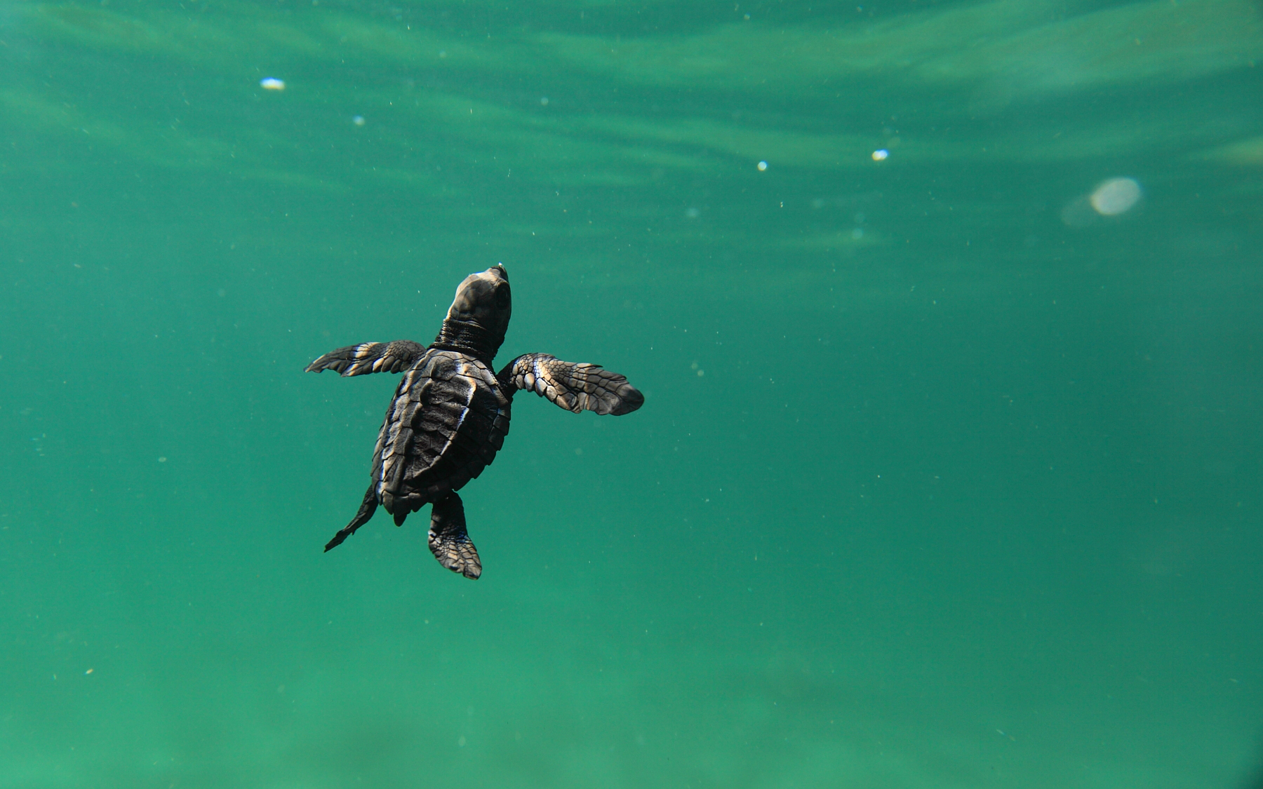 Photo courtesy of Playa Viva – sea turtle image by daniel_camerena_golfinaswim